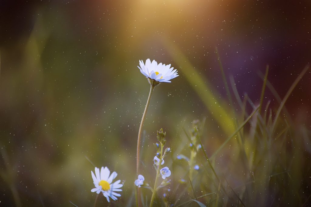 Close up of two white daisy flowers with yellow centers facing up at the sunlight.  Blurred green background of grass.