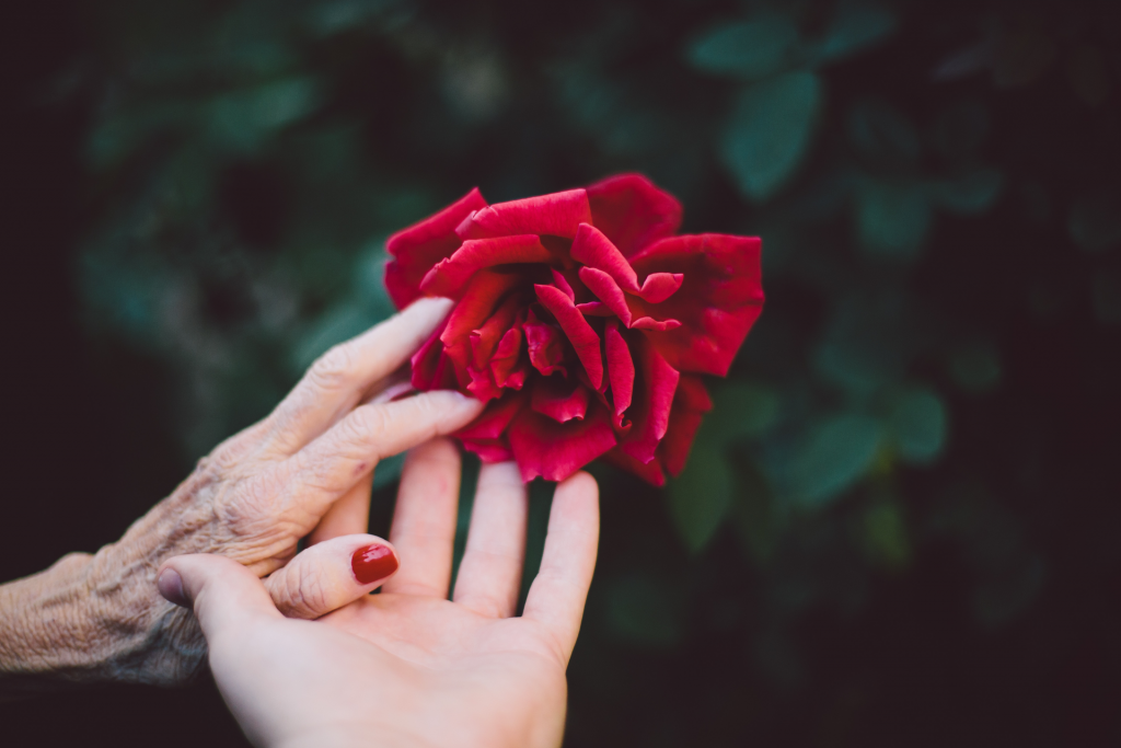 A deep red colored rose being given to an outstretched hand by an elderly hand.  Blurred dark green background.