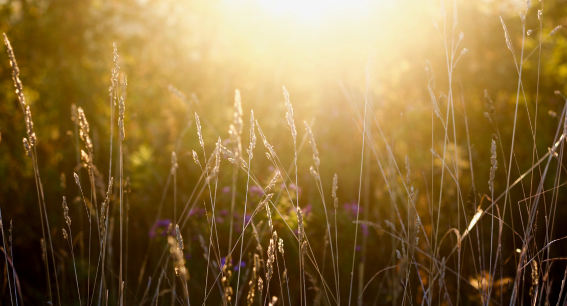 Close up image of straw colored plants with purple flowers in background. Blurred gold sunlight coming through field in backdrop.