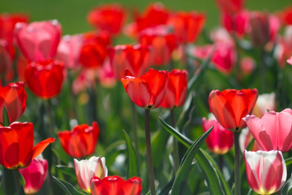 Close up of multiple red tulips in field with green stems