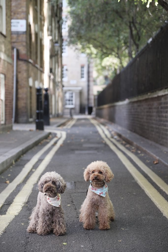 Two poodles with scarfs around neck sitting in alley
