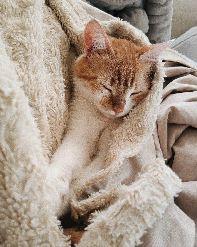 Sleeping orange and white kitten in cream colored blanket