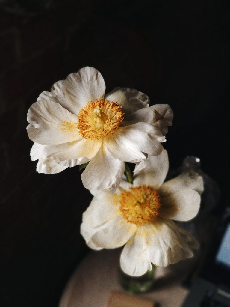 Close up of two white petaled flowers with yellow centers with black background