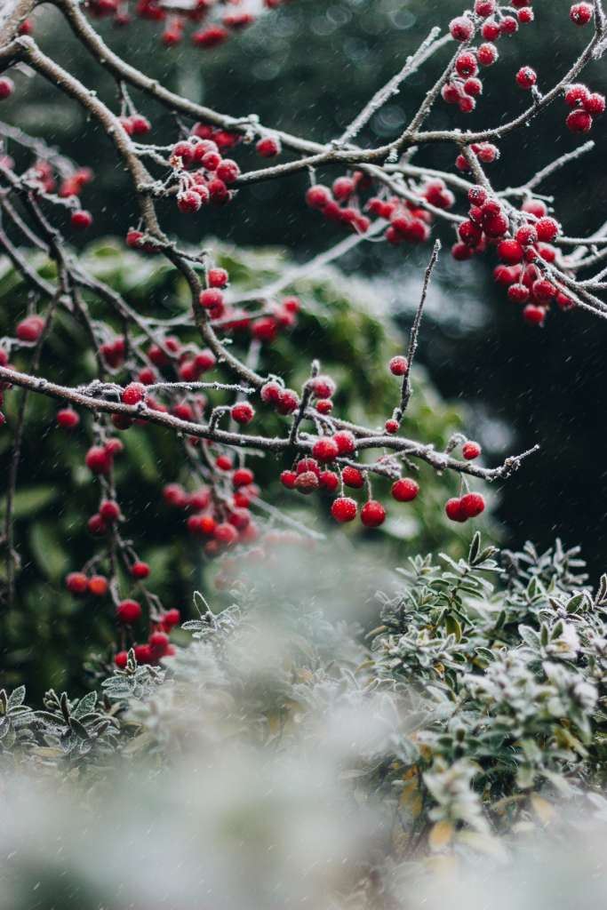 Close up of red berries on branches