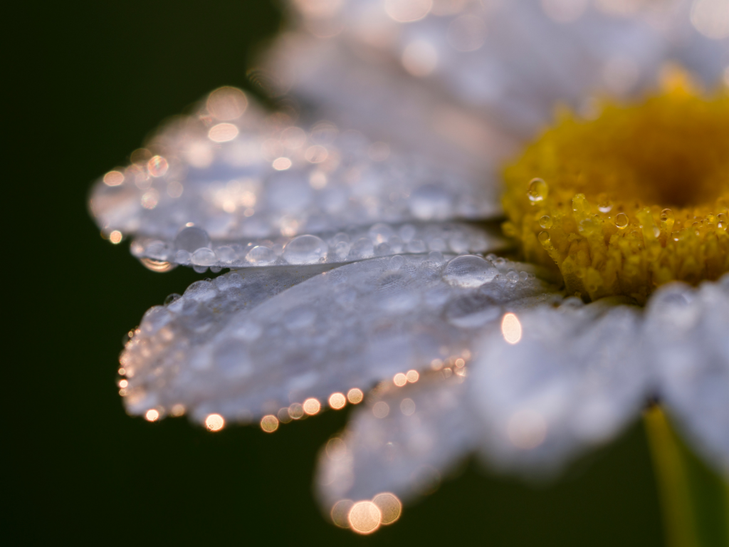 Close up image of white daisy with yellow center with speckles of gold light on perimeter of petals