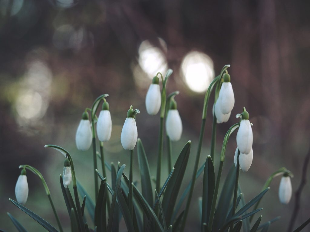 Close up image of white snowdrops with blurred background