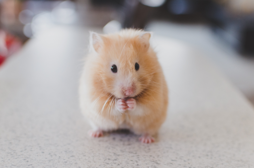 Close up image of red colored hamster