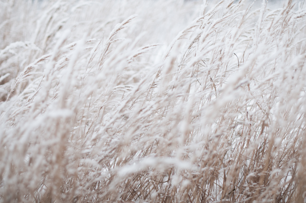 White colored wheat field