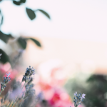 Lavender and pink blurred flowers
