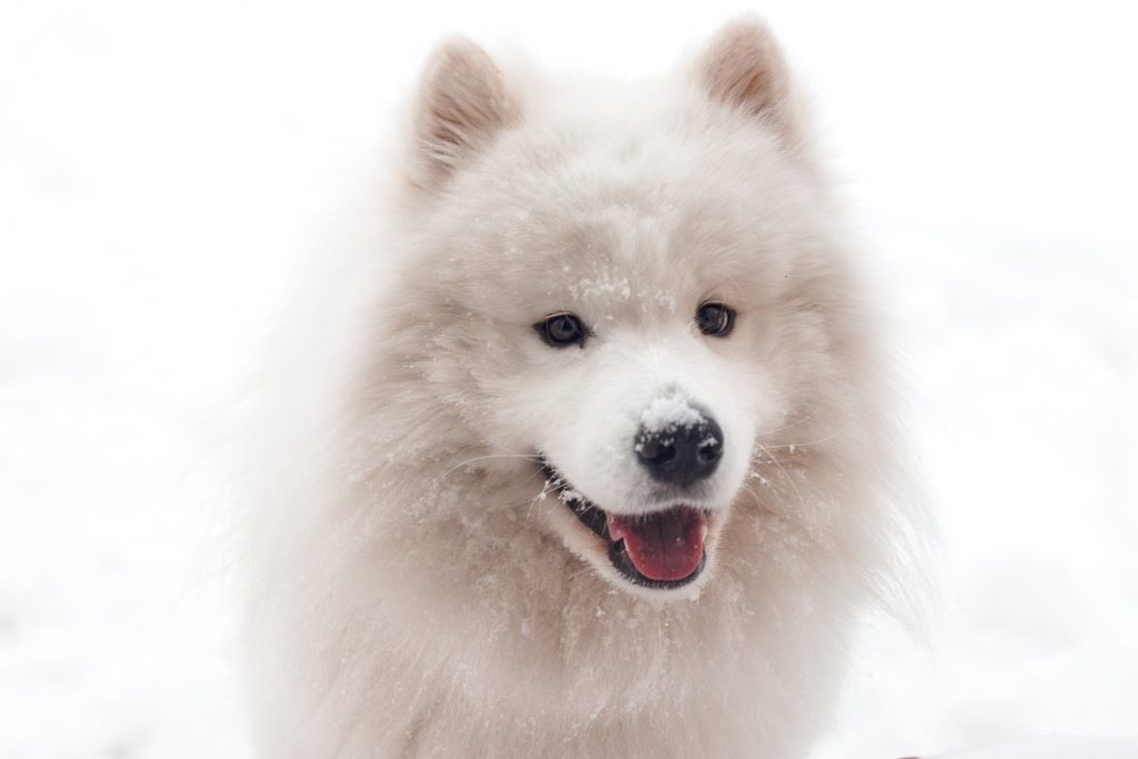 White fluffy dog