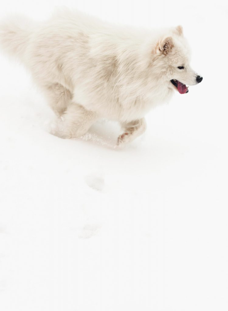 White fluffy dog running in snow