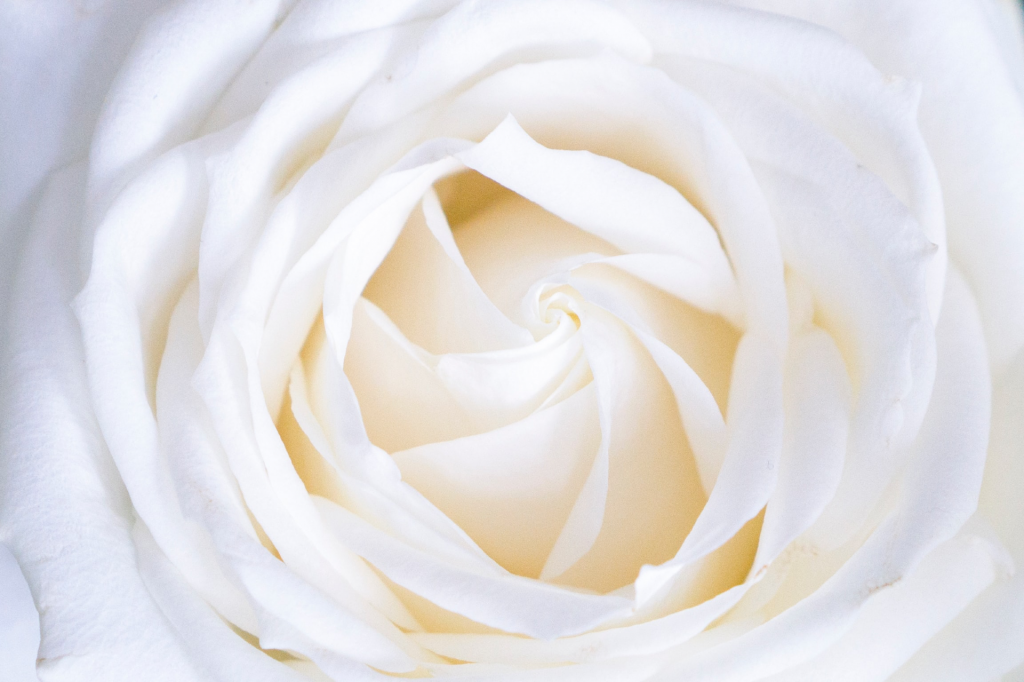 White rose up close