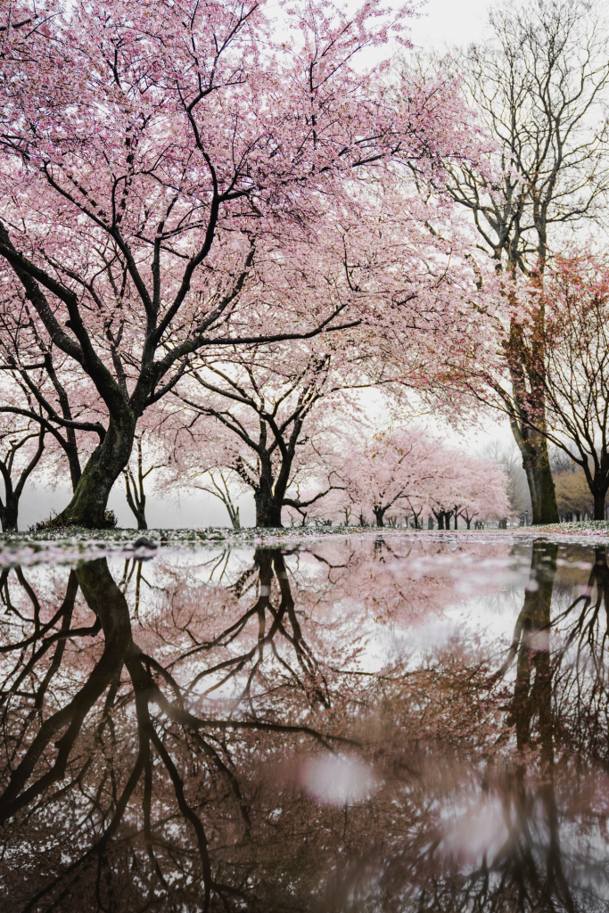 Pink blossoming trees with reflection in water