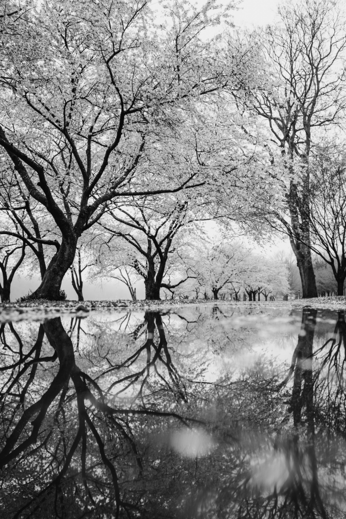 Black and white blossoming trees with reflection in water