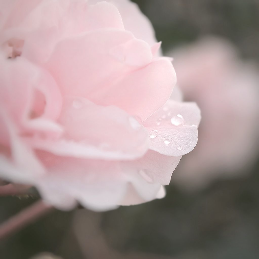 Up close image of pink rose with dew drops