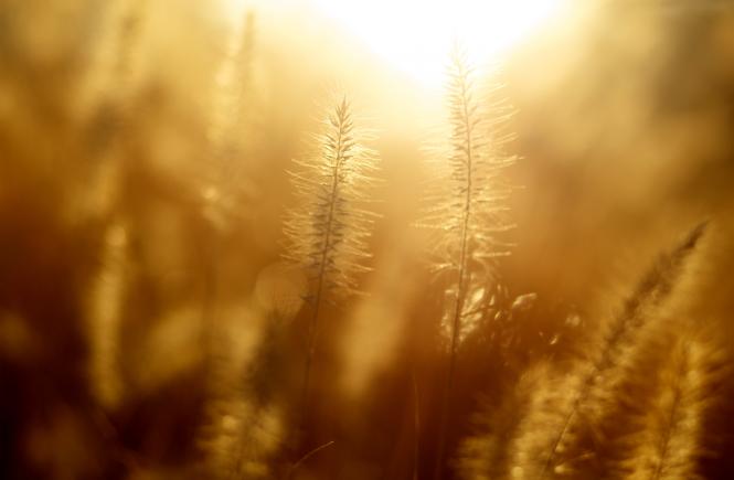 Sunlight in wheat field