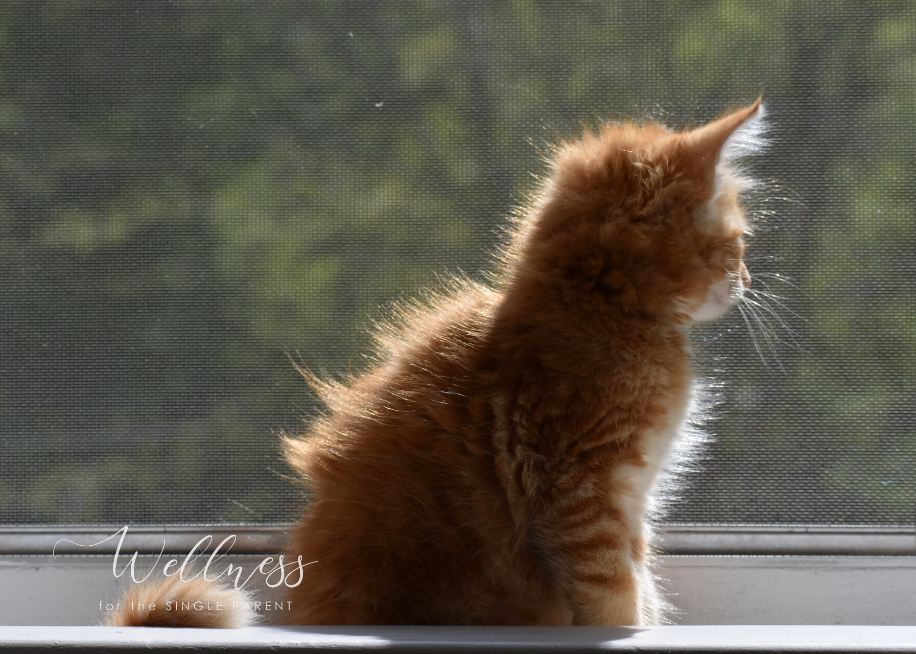 Back side of red and white kitten looking out window