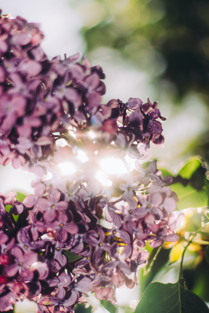 Sunlight streaming through lilac flowers