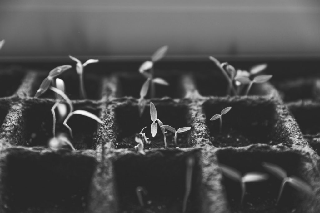 Black and white image of seedlings