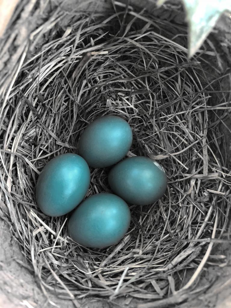 Bird's nest with 4 blue eggs