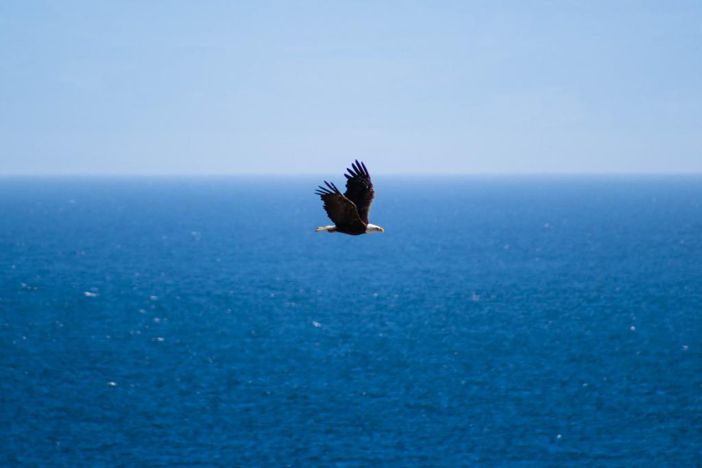 Bald eagle flying over ocean